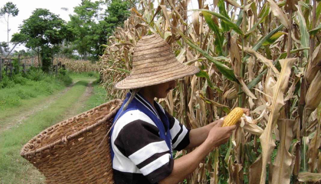 China conseguirá impulsar la producción de maíz nacional o mantendrá su estatus de importador